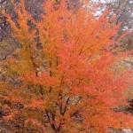 Желтовато-красное дерево по пути к мемориальному комплексу Хазрат Али