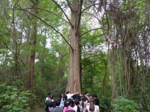 Объятия с мамонтовым деревом
