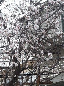 Цветущий урюк